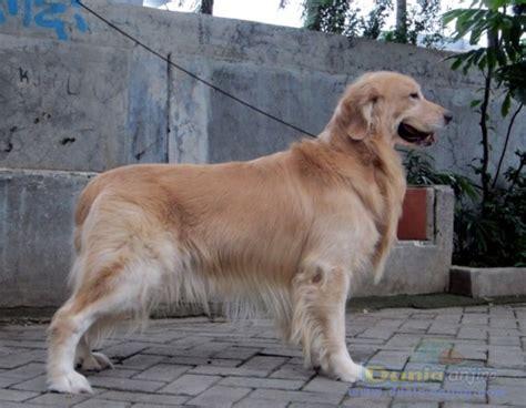 anjing golden retriever dunia anjing pejantan anjing golden retriever stud service pejantan golden