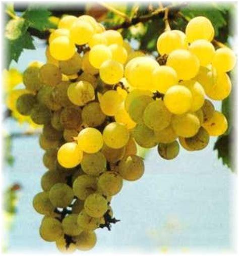 2 Biji Benih Buah Anggur Mix 2 Warna khasiat dan koleksi gambar buah aggur gambar hidup