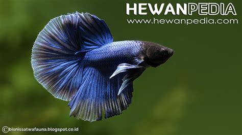 Makanan Ikan Cupang Koi mengganti air akuarium ikan cupang hewanpedia