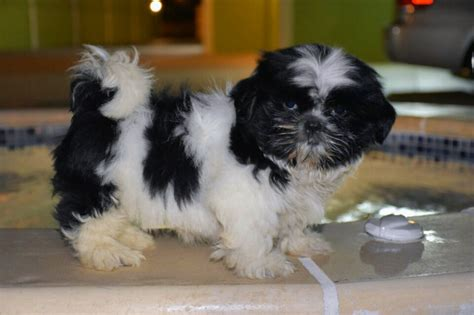 shih tzu age trini pets for sale