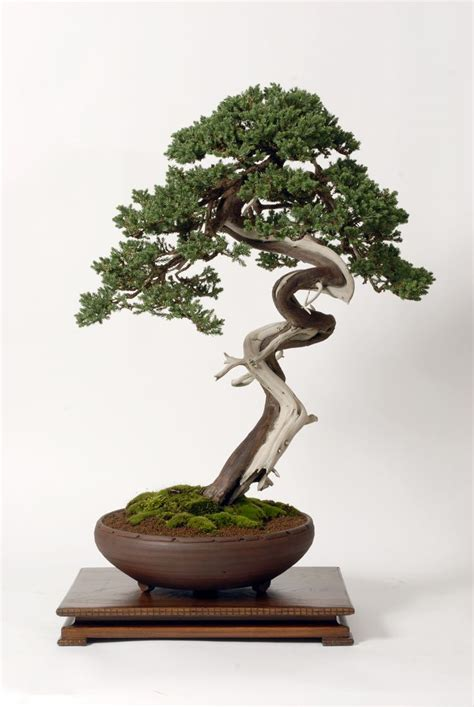 bonzi tree 14 best images about bonsai ideas on pinterest trees