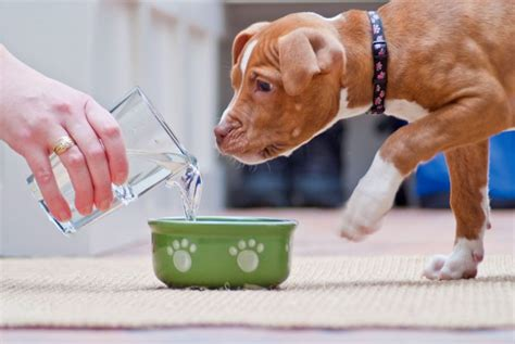 do puppies drink a lot of water water intoxication in dogs how to avoid this problem
