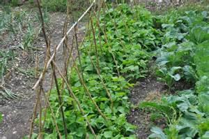 comment semer des haricots verts r 233 colte rapide et abondante