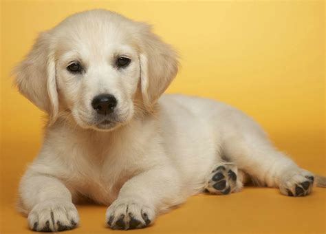 the puppy puppies images puppy hd wallpaper and background photos 31727184