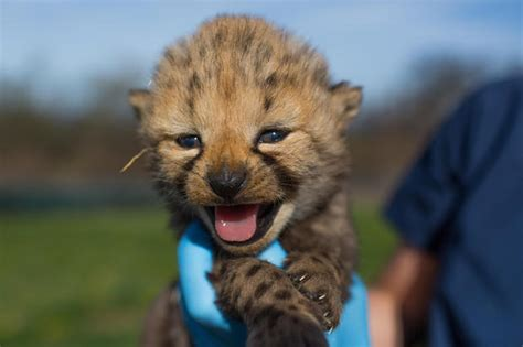baby cheetah cub to become part of busch gardens cheetah cheetah baby boom at the smithsonian as species faces