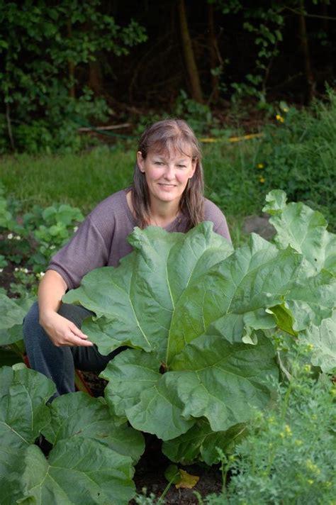 rhabarber pflanzen wann rhabarber pflanzen rhabarber pflanzen tipps zur pflege