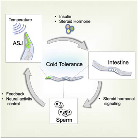 does c section affect fertility sperm affects head sensory neuron in temperature tolerance