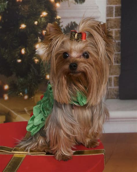 xmas tree with yorkies 3313 best yorkies images on animals yorkies and terriers
