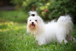 Dogs That Do Not Shed Hair by Breeds That Don T Shed Pawculture