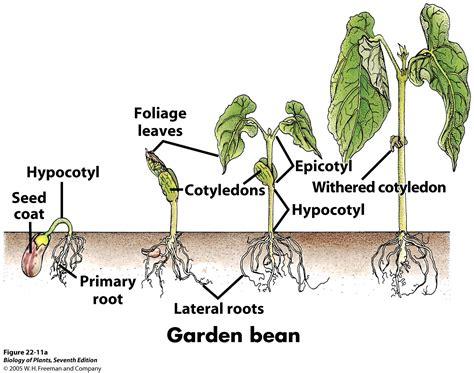 bean plant diagram biology pictures july 2013