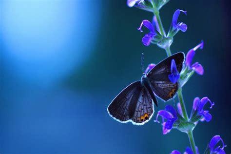 flores azules claras mariposa imagenes de archivo imagen 2050474 mariposa y flor azules 21655