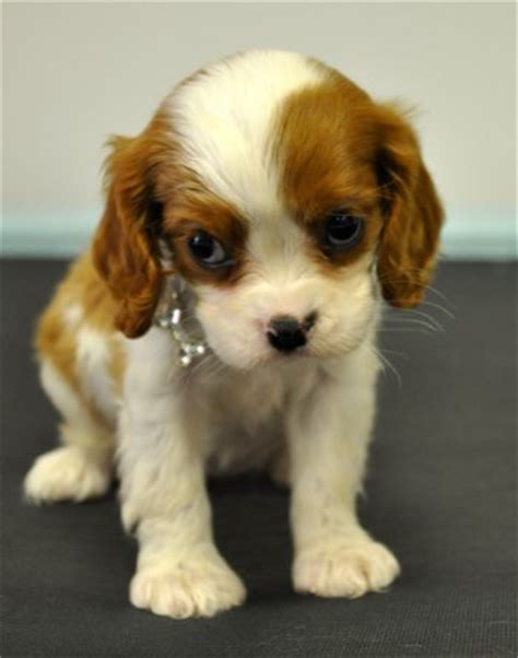 cockalier puppies for sale cavalier king charles spaniel poodle mix