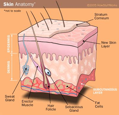 cross section of the skin the natural sunscreen melanin sun protection zone