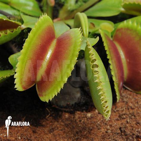 Benih Venus Flytrap Dentate dionaea muscipula dentate