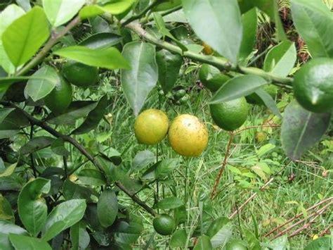 lemonade tree green thumb