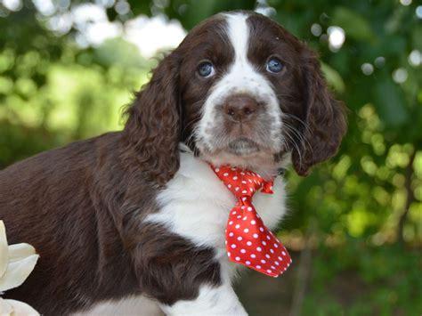springer spaniel puppies ohio cheryl kinder springer spaniel puppies for sale