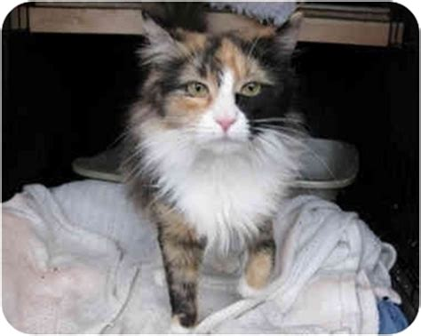 rescue ct natalie adopted kitten manchester ct maine coon