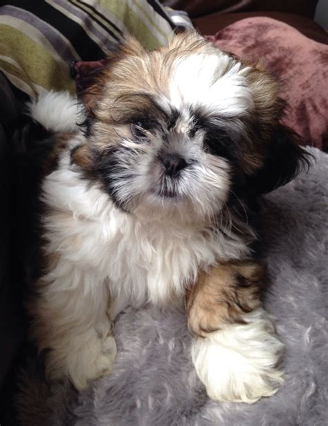 registered shih tzu puppies for sale kc registered shih tzu puppies for sale torpoint cornwall pets4homes