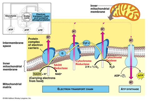 pattern formation in plants masteringbiology pics for gt proton gradient formation and atp synthesis