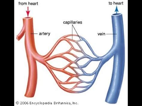 what is the difference between veins and arteries