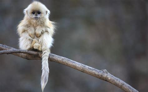 wallpaper cute monkey snub nosed monkey baby wallpaper 2560x1600 2127