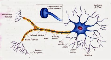 Imagenes De Neuronas Sensoriales | caracter 237 sticas tejido nervioso