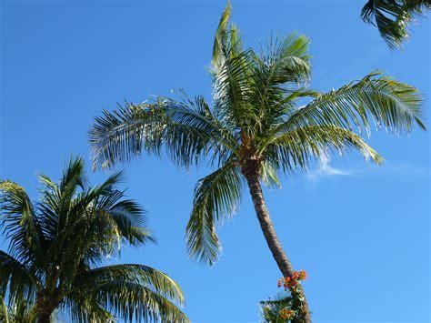 trees in miami miami palm trees tweets world