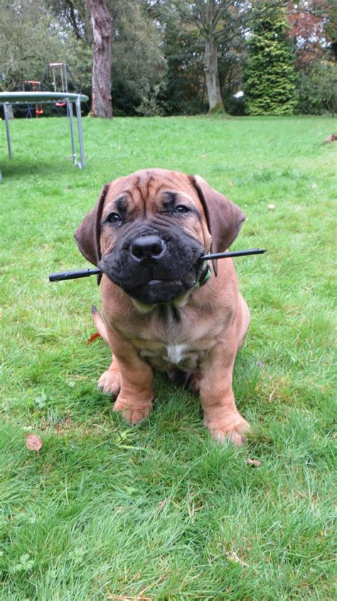 boerboel puppies for sale in pa boerboel puppies for sale breeds picture