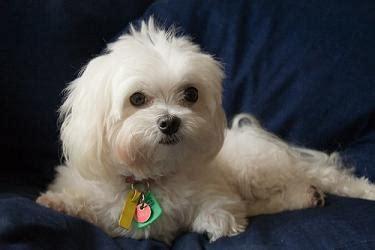 why has my maltese terrier got thin hair maltese dog breed puppy