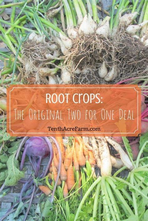 Root Vegetable Garden Root Vegetables Are An Important Garden Crop Not Only