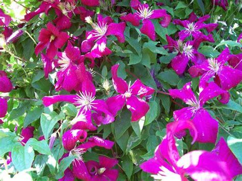 Pflanze Kaufen 216 by Clematis Madame Correvon Kaufen Viticella