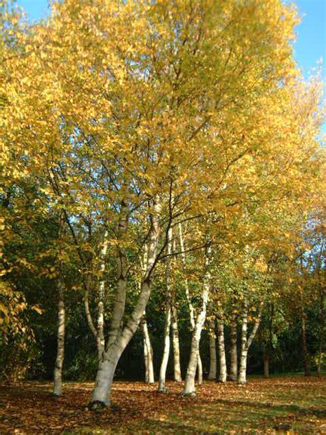 betula papyrifera whitecanoepaper birch