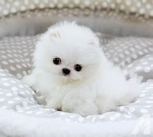 teacup pomeranian puppies for sale in arizona akc teacup pomeranian puppies ready for rehoming 832 937 8464 for sale in