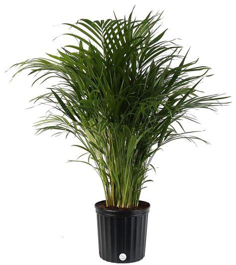 areca butterfly palm  large indoor plants popsugar