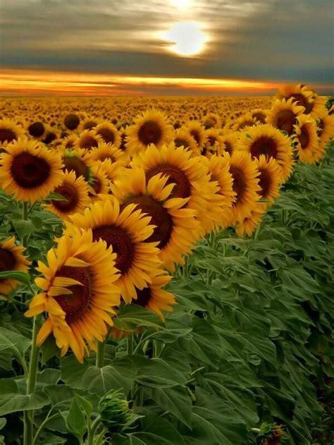 stunning sunflower garden ideas gardenmagzcom