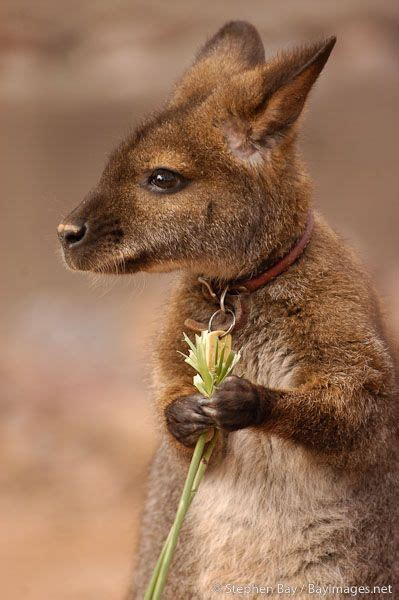 Bites By Ani Baby baby wallaby www pixshark images galleries