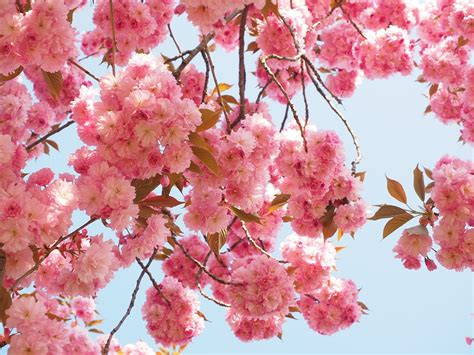 cherry blossoms free photo cherry blossom japanese cherry free image