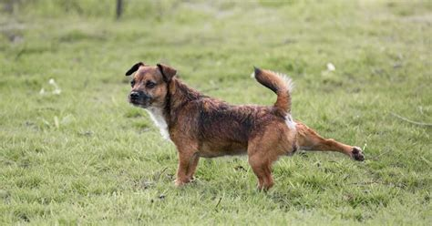 why do dogs kick their back legs here s why dogs kick the grass after they i had no idea us abrozzi