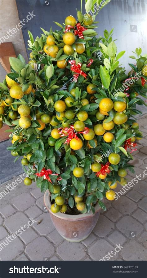 new year lime tree four season lime tree from china a decoration item for
