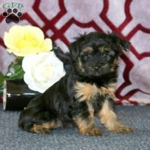 yorkie poo pa yorkie poo puppies for sale yorkie poo breed info greenfield puppies