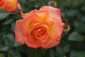 resurrecting your hybrid tea roses state by state gardening