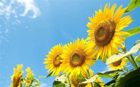 Sunflower S 1 sunflower wallpaper android apps auf play