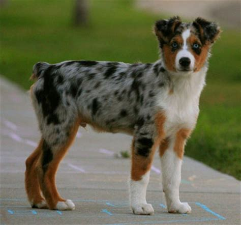 australian sheepdog puppy australian shepherd breed