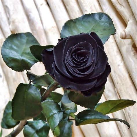 imagenes de rosas oscuras las 25 mejores ideas sobre flores negras en pinterest y