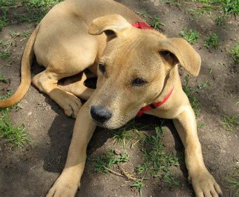 weimaraner lab puppies juniper labrador retriever humane society of dallas county