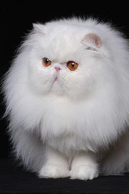 immagini di gatti persiani persiano gatti allevatori allevamenti annunci