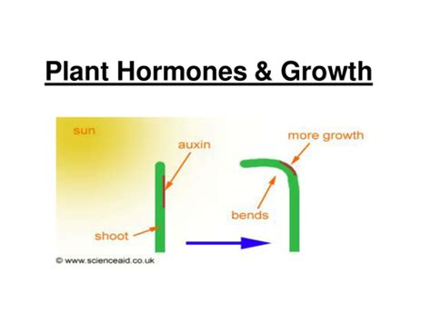 plant hormones worksheet gcse plant hormones and growth foundation sen by