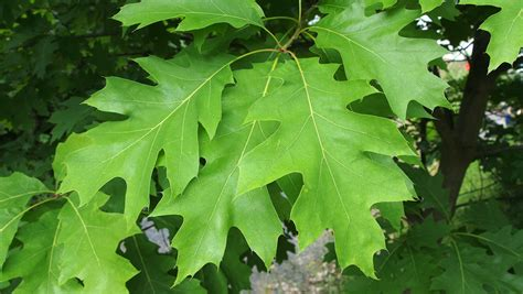 Shrubs That Flower In May - quercus rubra treeebb online tree finding tool ebben nurseries