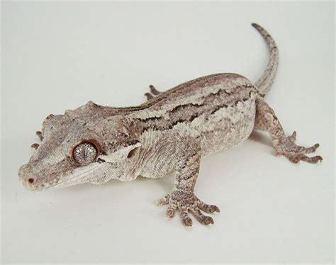 crested gecko colors 1000 images about crested geckos on crested