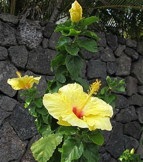 which state has a hibiscus hawaii state flower yellow hawaiian hibiscus
